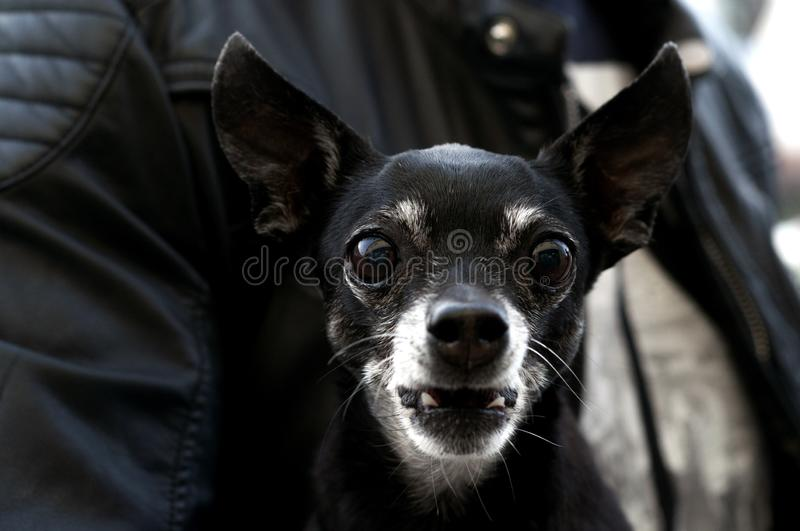Black dog with big eyes looks into the camera royalty free stock photography