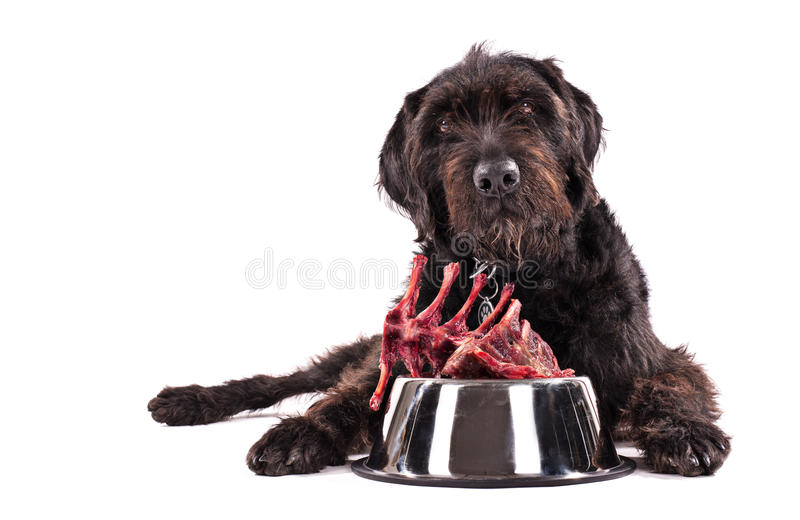 Black dog with bowl full of raw meat isolated on white background royalty free stock image