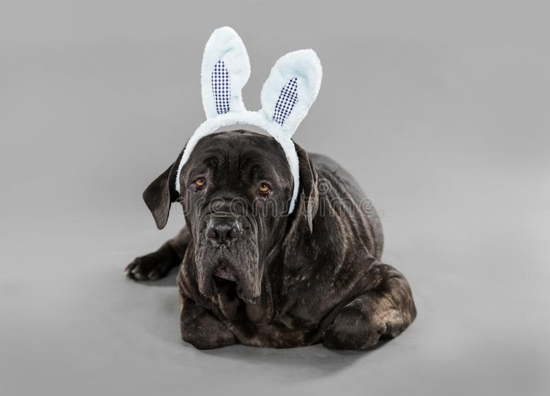 Black dog in bunny ears stock images