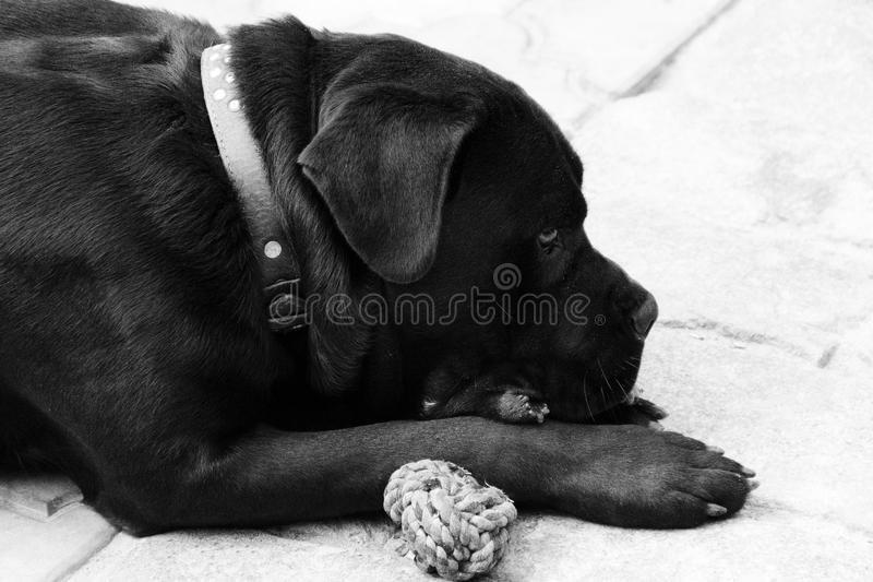 Black dog cane corso. photo. black and white. Small black dog cane corso. black and white. photo royalty free stock images