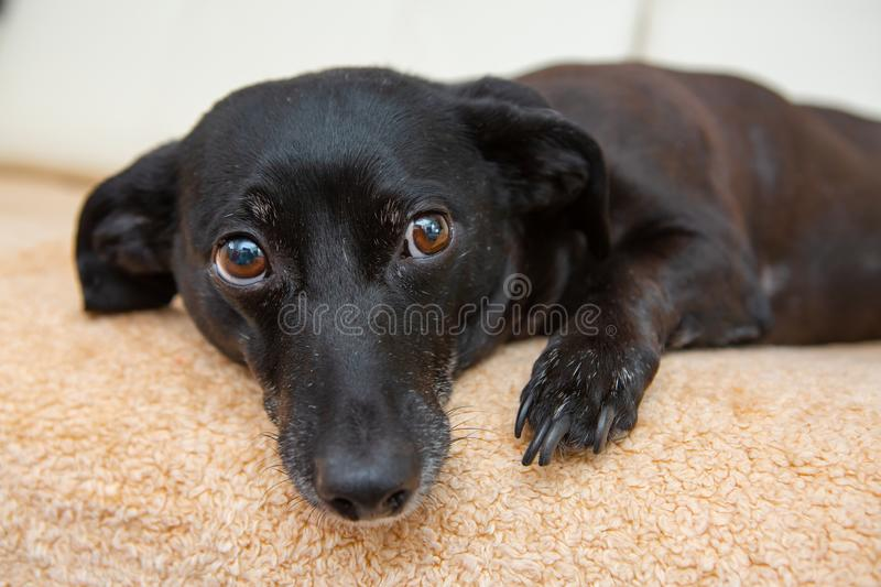 Pet dog on the couch. Black dog on the couch royalty free stock photography
