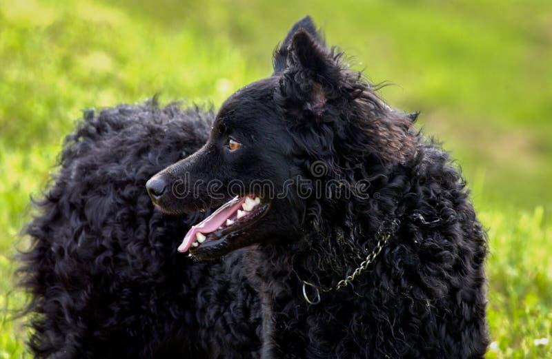 Black dog Croatian Shepherd Rea. Plays in a grass portrait stock images