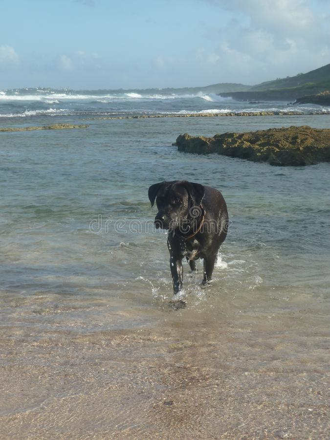 A black dog runs into the sea. A black dog, crossed labrador, runs into the sea royalty free stock images