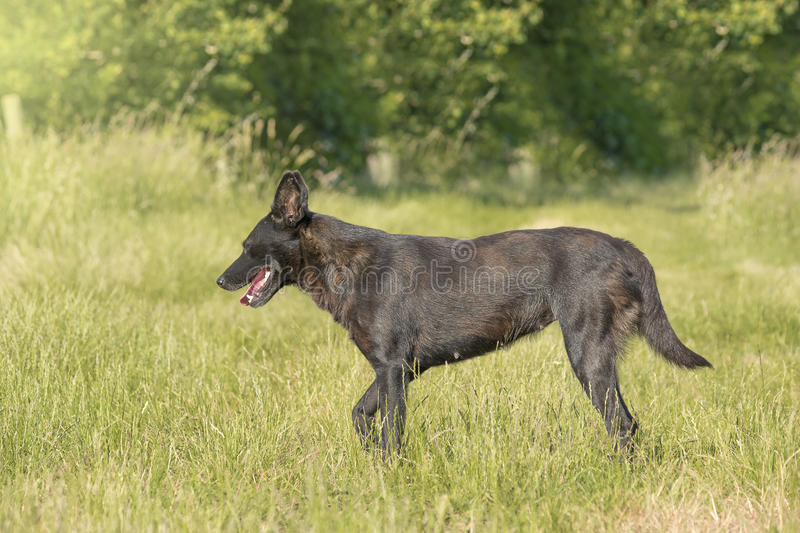 Black dog & dog in profile & dog stands. Big black dog standing on the lawn stock photos