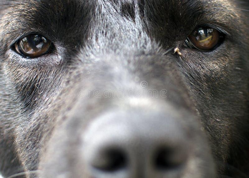 Black Dog Eyes. Close-up of a black dog's eyes royalty free stock image