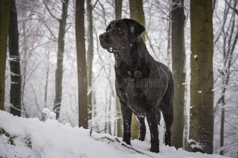 Black dog in the forest covered with snow.  royalty free stock photos