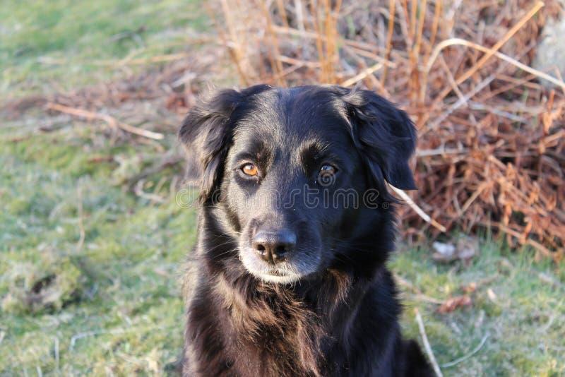 Black dog stock photography