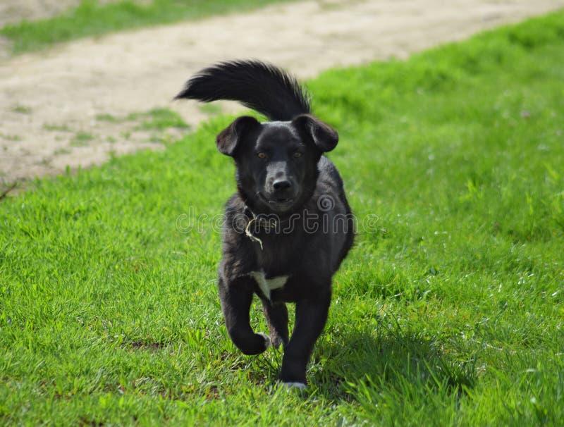 Black dog on the green grass. Pedigree dog yard stock photos