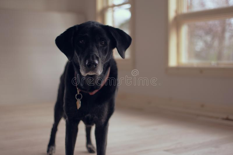 Black Dog Inside Room Free Public Domain Cc0 Image