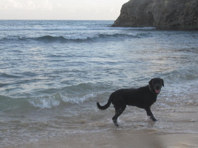 A black dog, labrador cross, by the sea. With waves royalty free stock photo