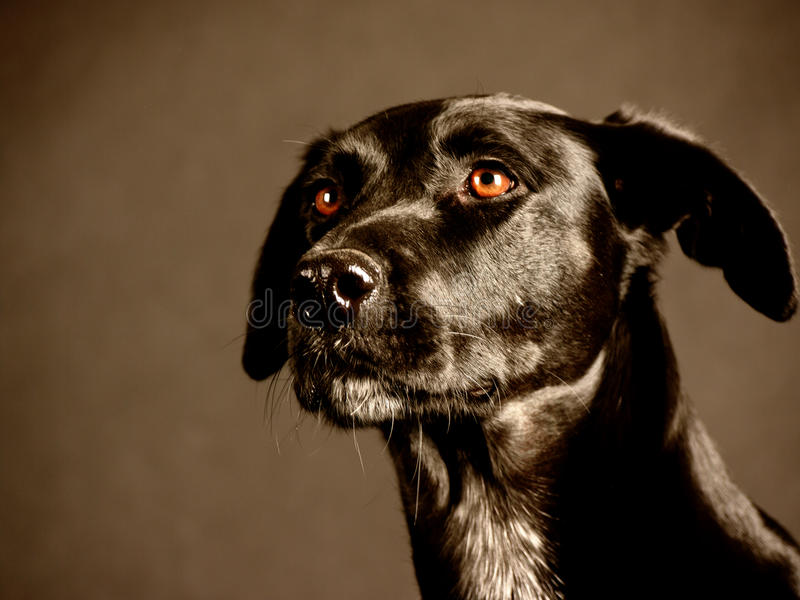 Download Black Dog (88) Stock Image - Image: 36018001