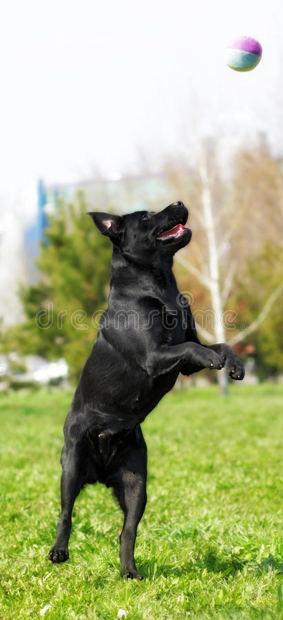 Black dog Labrador Retriever playing with ball in a city Park. Jumping on its hind legs, stretched out vertically stock image