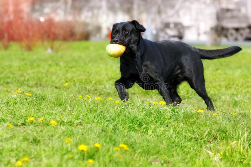 Black dog Labrador Retriever plays with a ball, caught and carries it in his teeth. Black dog Labrador Retriever playing with ball in a city Park, caught and royalty free stock photo