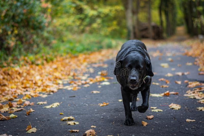 Black dog Labrador Retriever walking in the forest during autumn, dog has green collar, orange leaves are around on the path.  royalty free stock photos