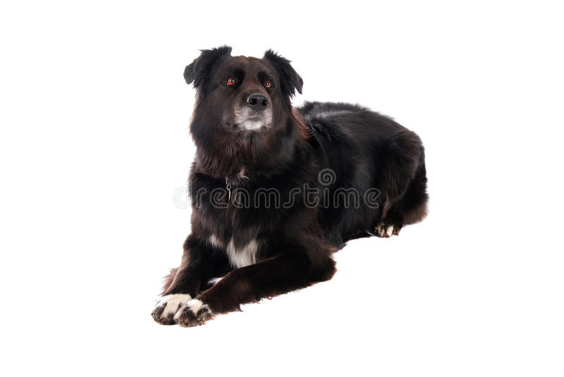 A Black Dog Laying Down Stock Photos