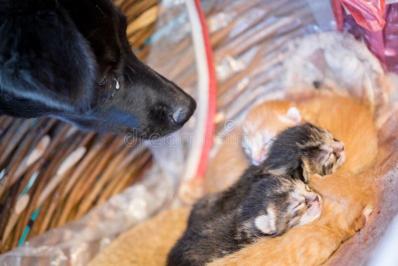 Black dog looking at sleepy newborn kittens stock image