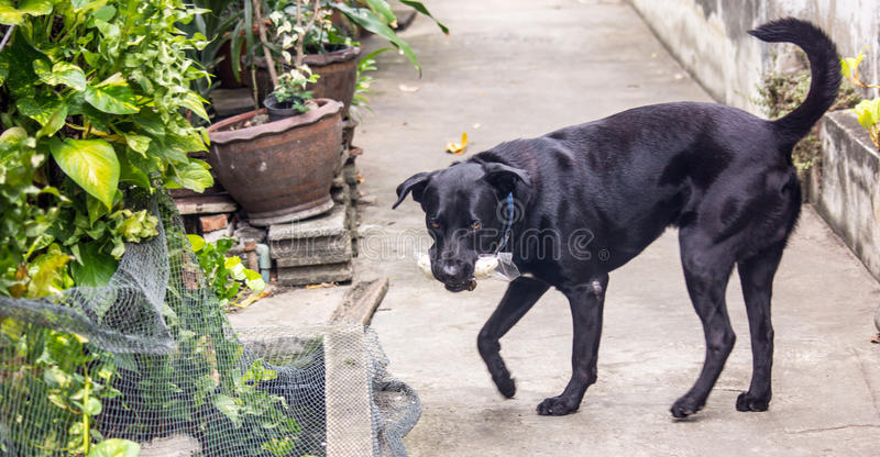 The black dog royalty free stock images