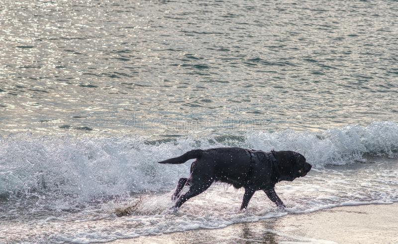 black dog play with water on the beach stock images