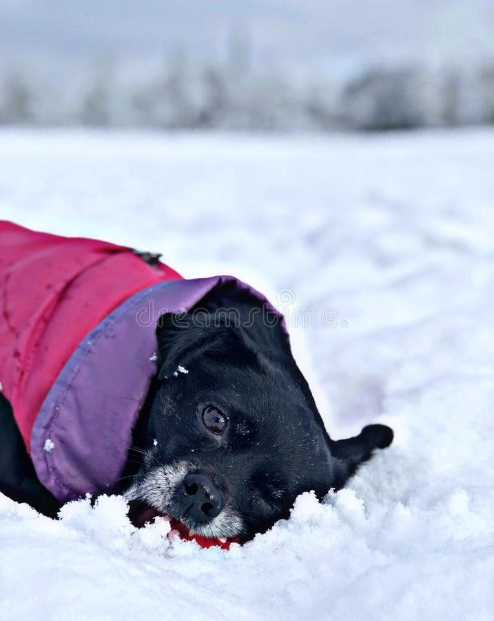 Black dog playing in the snow stock photos