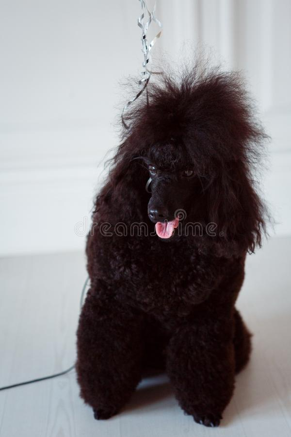 Black dog poodle on a leash. A black dog poodle on a leash opened its mouth. The dog is sitting on a white wooden floor royalty free stock photos
