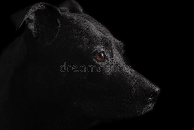 Black dog portrait royalty free stock images