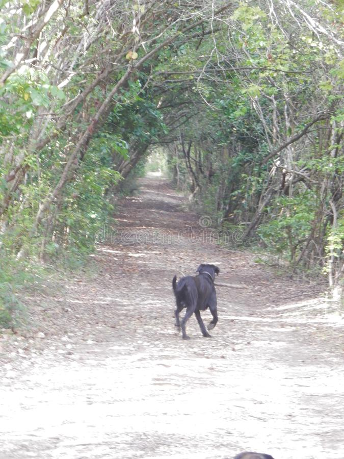 A dog runs in a tree tunnel stock photography