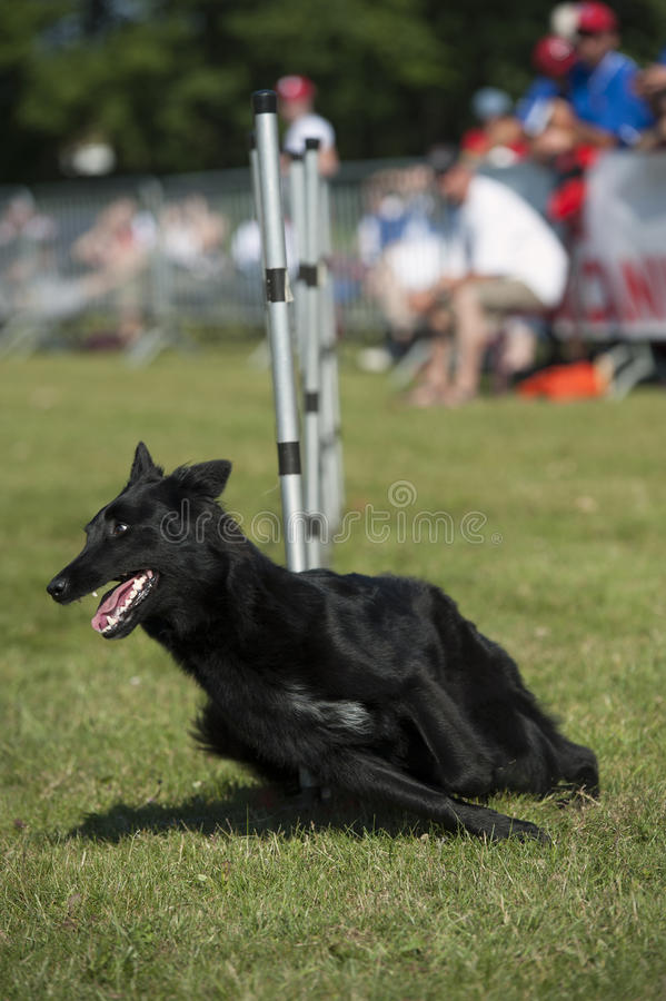 Black dog running stock images