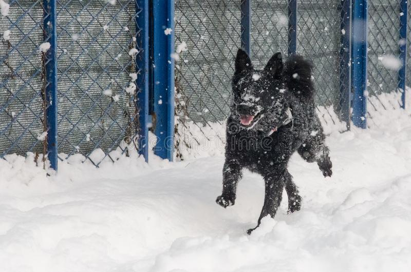 A black dog in the snow royalty free stock image