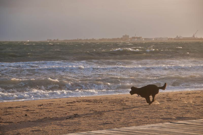 Black dog is rushing enjoying running happily on golden sand beach in the afternoon stock image