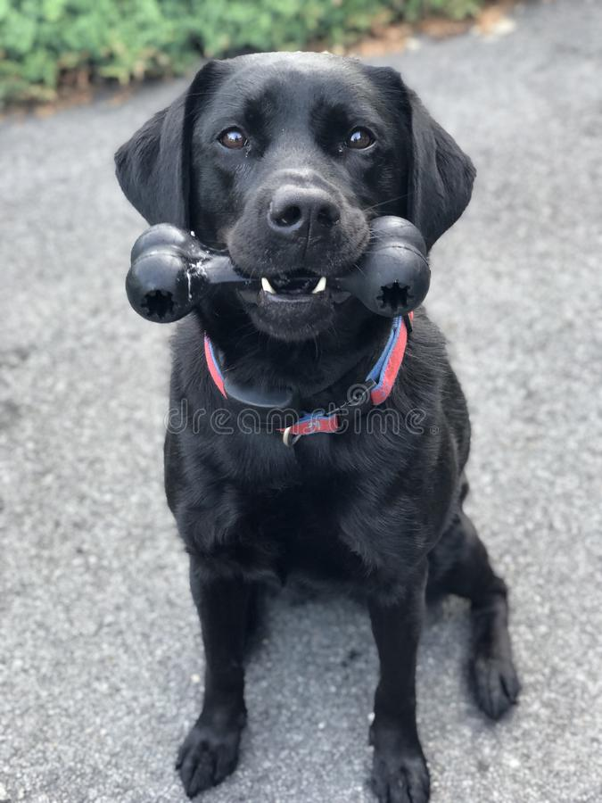 BLACK dog, sitting outside, with TOY in mouth royalty free stock photography