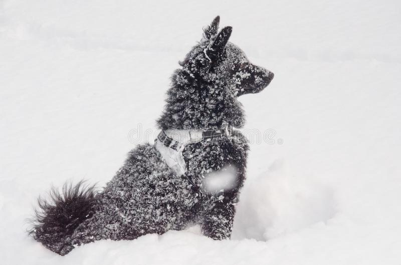 A black dog in the snow stock photo