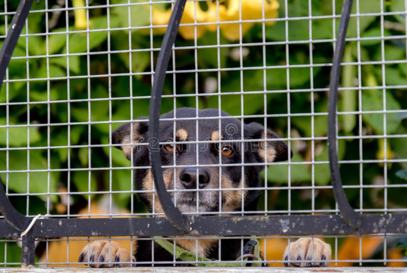 Dog smiling behind a fence. Black Dog smiling at the camera behind a white fence royalty free stock image