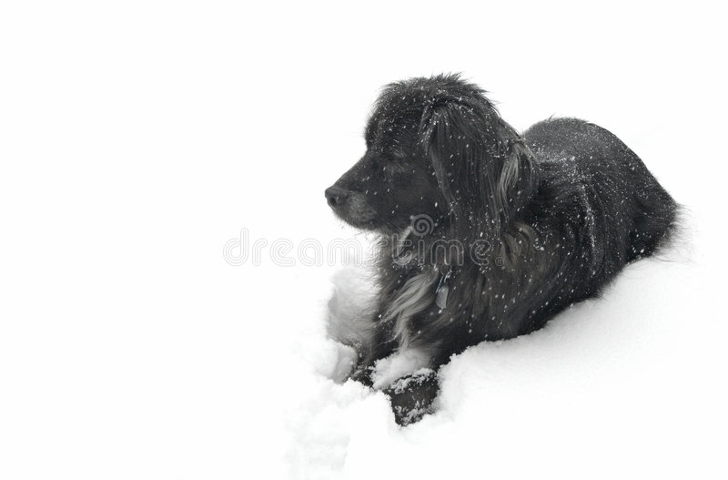 Black dog in the snow stock image
