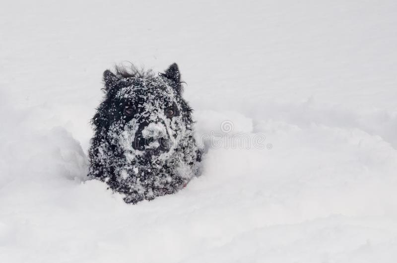 A black dog in the snow funny royalty free stock photo
