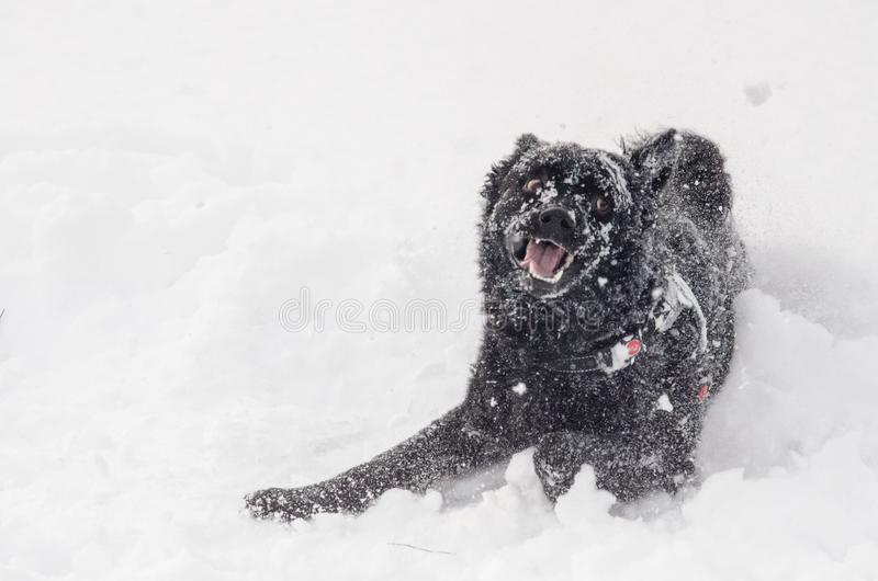 A black dog in the snow funny stock images