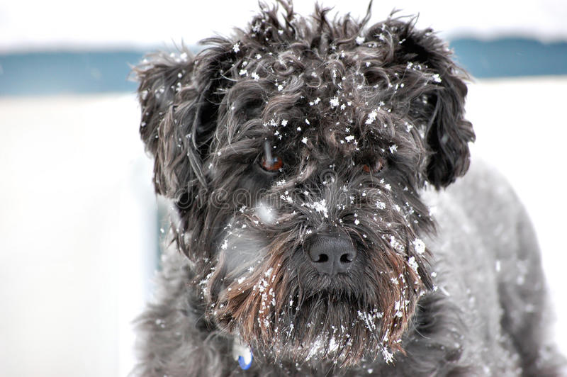 Black dog in snow storm stock images