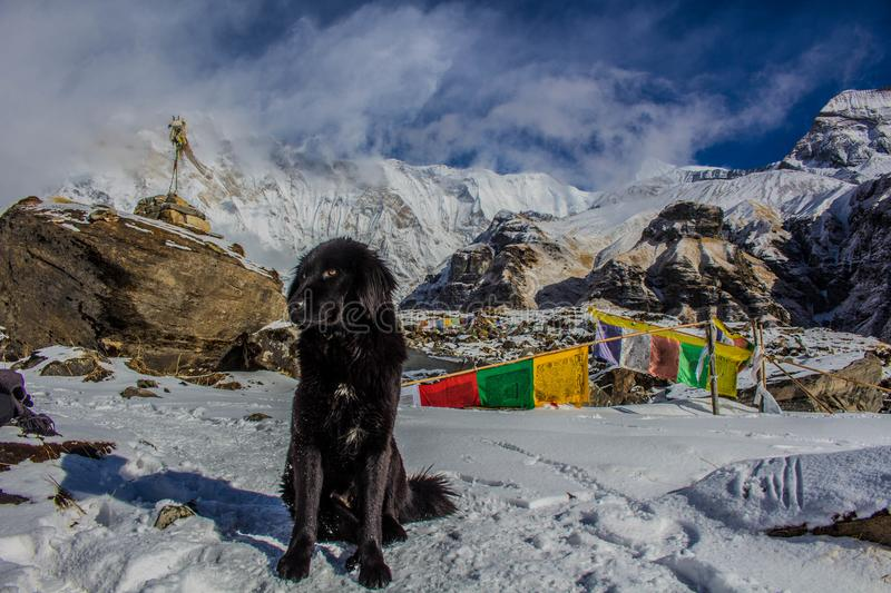 Black Dog on Snowy Mountain stock images