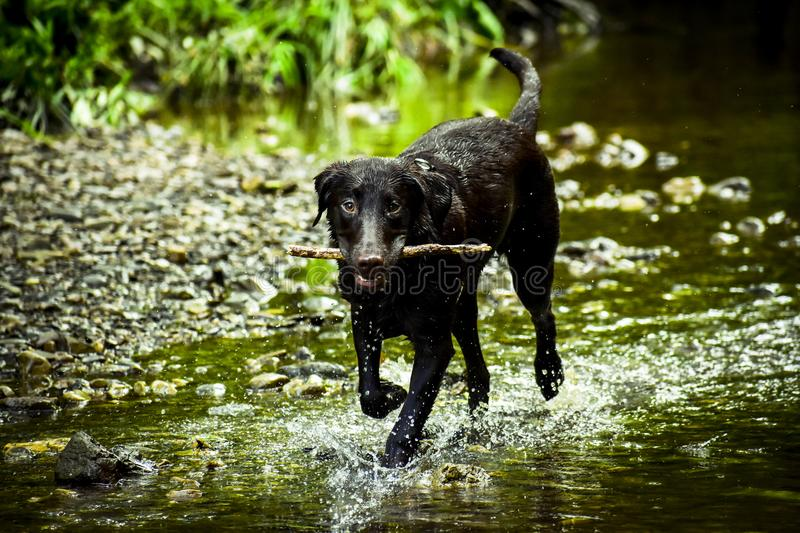 Black Dog Stick on Mouth royalty free stock images
