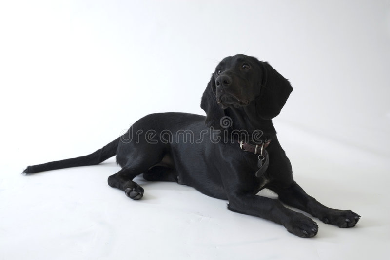 Black dog in the studio. Black dog is laying down in the studio stock image