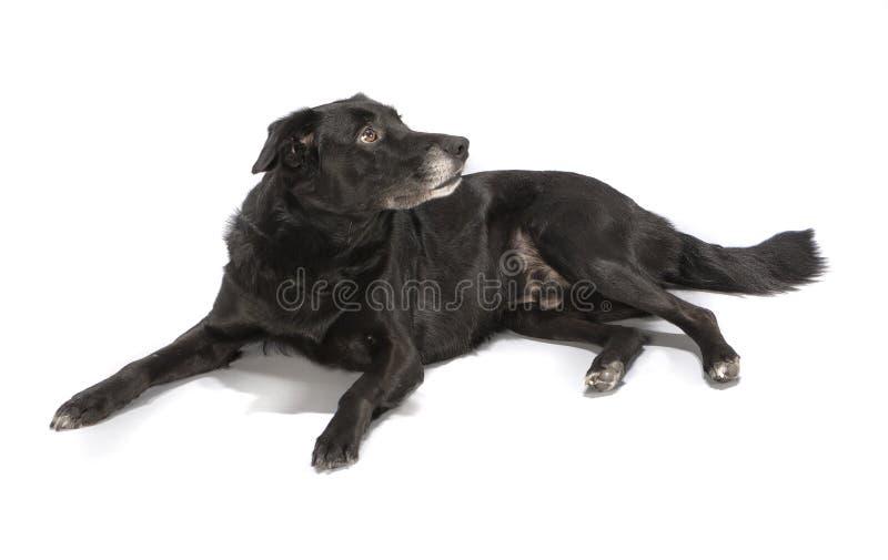 A black dog on white background. A black anxious dog on white background stock photos