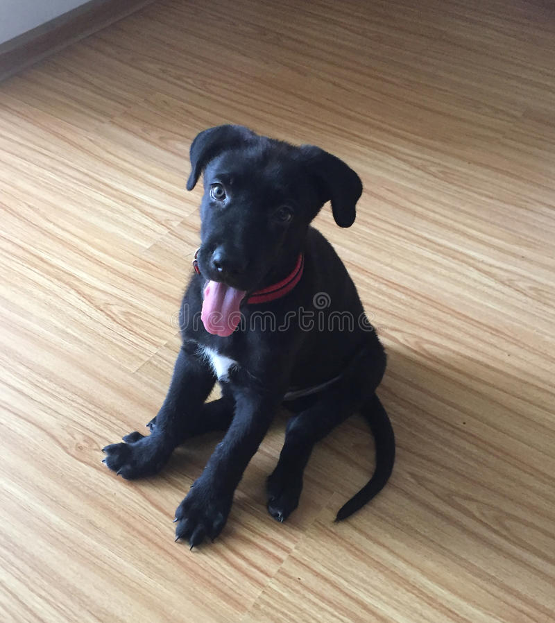 A black dog with a white patch on its chest royalty free stock photo