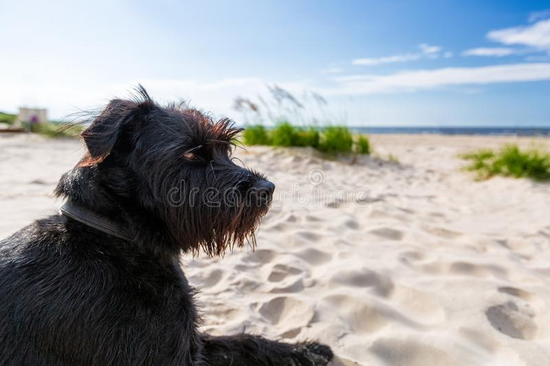 Black dog on the white sand on the beach royalty free stock photography