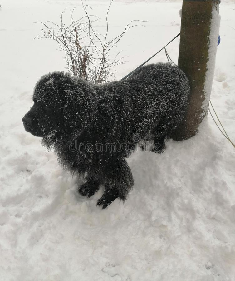 Black dog on white snow royalty free stock photography