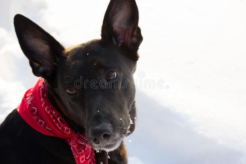 Black dog in a winter forest. In a collar stock photo