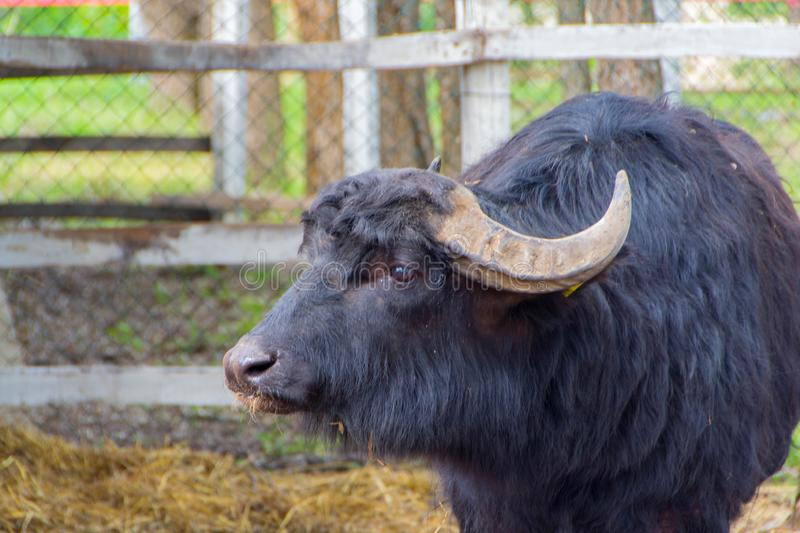 Black domestic cattle, bull royalty free stock photos