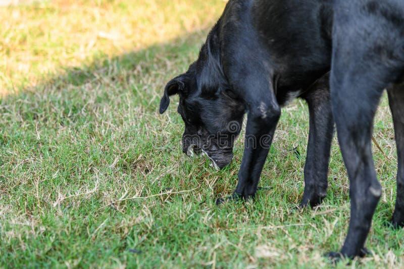 Black domestic dog are vomit mucus. Black domestic dog are stoop body and vomit mucus stock photography