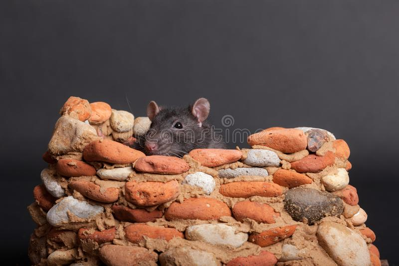 Black domestic rat. In a small stone fortress royalty free stock photography