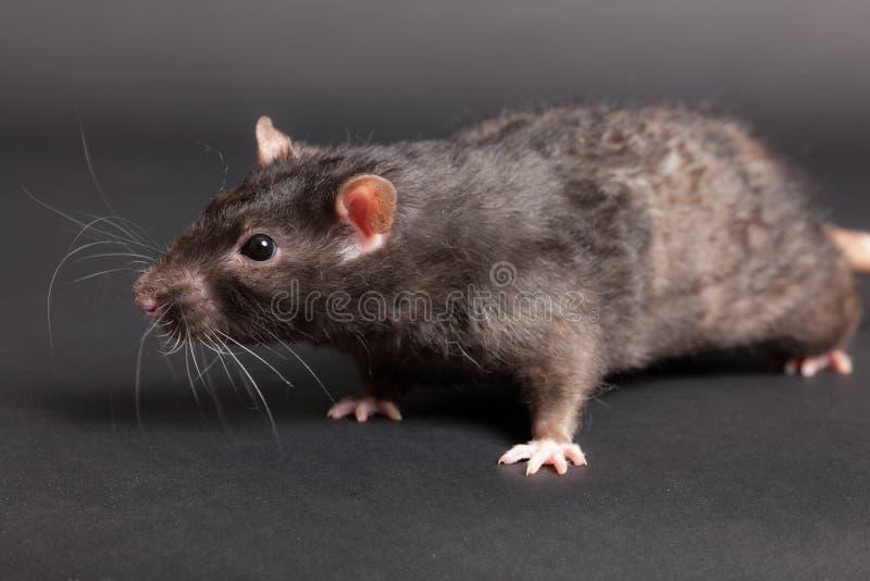 Black domestic rat. Closeup portrait of a black domestic rat royalty free stock photos