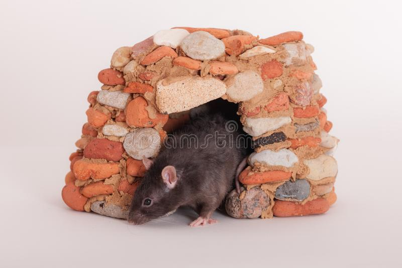 Black domestic rat. In a small stone house royalty free stock photography