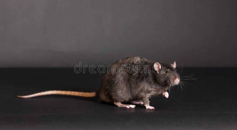 Black domestic rat. Studio portrait of a black domestic rat royalty free stock photo